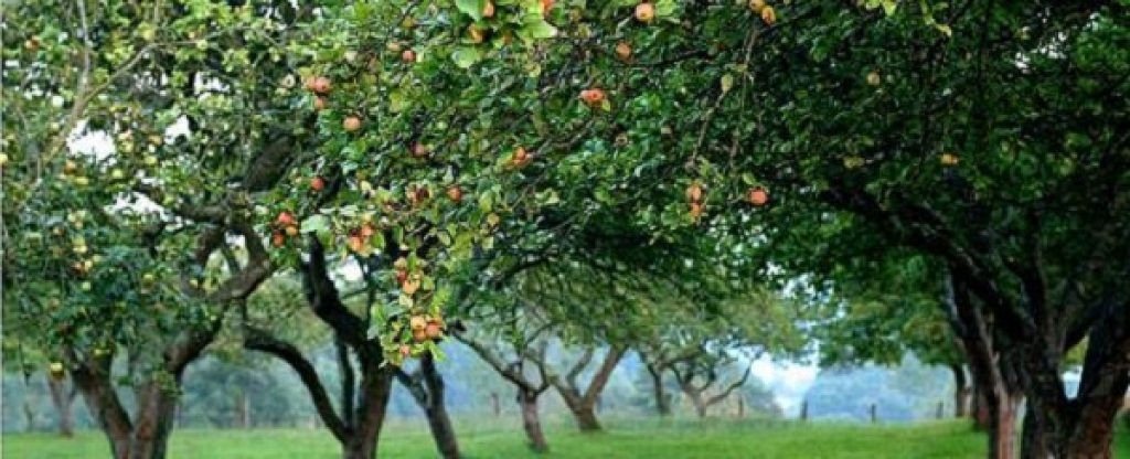 apple-orchards-in-nava