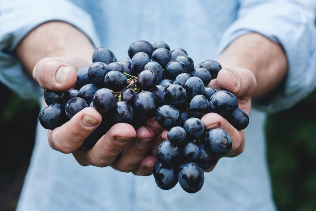 someone holding a bunch of black grapes